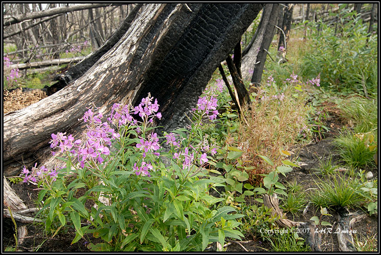 Fireweed and Burnt Stump